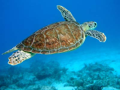 hawksbill-sea-turtle